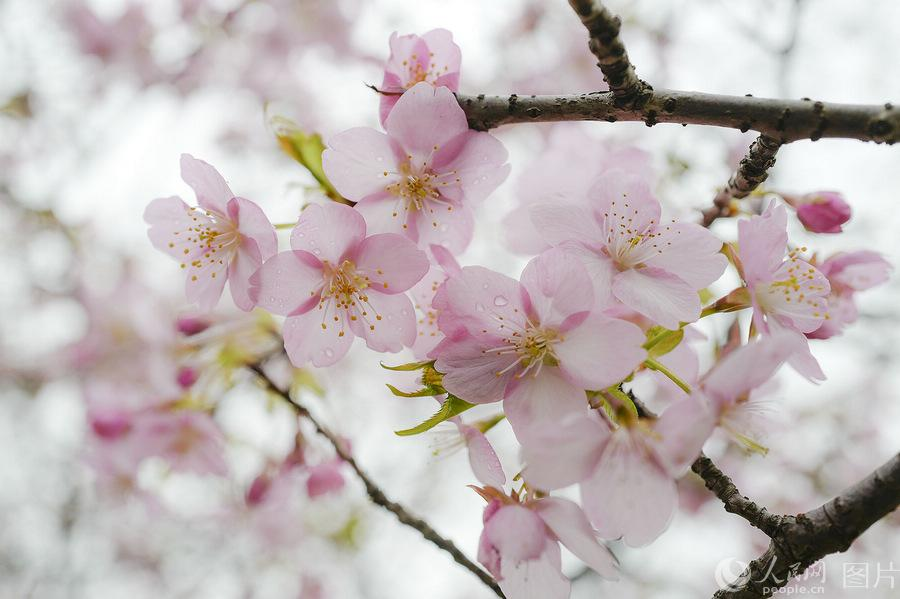 Blooming cherry blossoms at Gucun Park in Shanghai pictured on Feb. 27, 2019.  (Photo/people.cn)