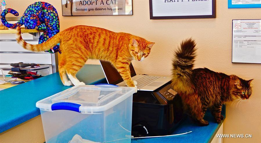 Photo taken on Feb. 24, 2019 shows two cats at Catopia Cat Cafe in Albuquerque, New Mexico, the United States. Customers at Catopia Cat Cafe, having only been open for a few months in Albuquerque in the U.S. state of New Mexico, can spend as much time as they want with about a dozen adoptable cats while having coffee and browsing the web. Internet coffee shops that have cats up for adoption is a new trend in the United States today, and there are about one hundred cat cafes around the country. (Xinhua/Richard Lakin)