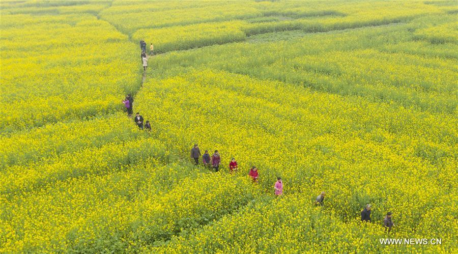 Aerial photo taken on Feb. 26, 2019 shows tourists walking in cole flower fields at Longweizhou Village of Xinxi Township in Xinyu City, east China\'s Jiangxi Province. (Xinhua/Zhao Chunliang)