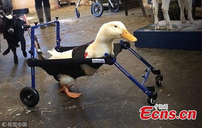 A duck born with an injured leg can now walk around freely thanks to a specially tailored animal wheelchair. Merlin was adopted by the Goats of Anarchy Sanctuary in Annandale, New Jersey, in Nov. 2018.  (Photo/VCG)