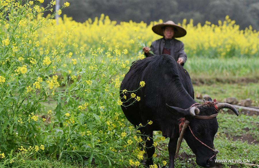 A farmer works in the field beside blooming cole flowers at Longteng Village of Luocheng Mulao Autonomous County, south China\'s Guangxi Zhuang Autonomous Region, Feb. 26, 2019. (Xinhua/Meng Zengshi)