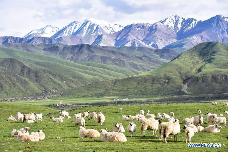 Sheep graze on the grassland at a pasture in Qilian County, northwest China\'s Qinghai Province, June 19, 2017. As \