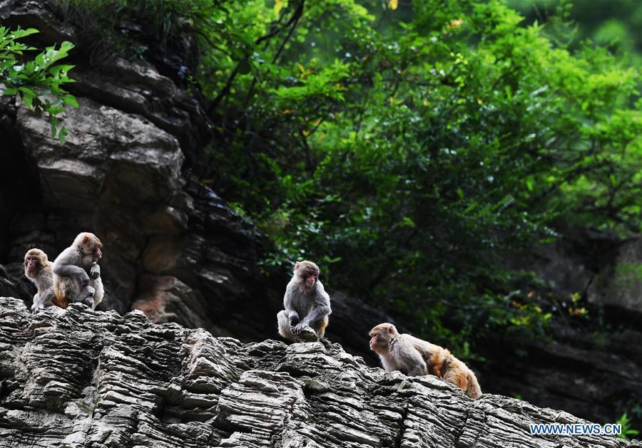 Wild macaques are seen at the \