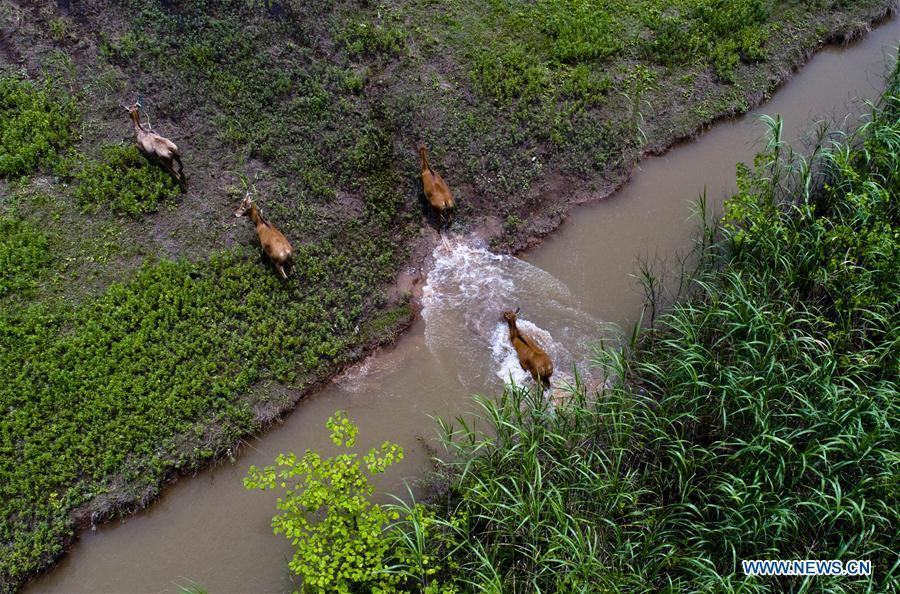 A herd of Milu deer run at a shelter for Milu deer and birds near Dongting Lake, central China\'s Hunan Province, May 23, 2018. As \