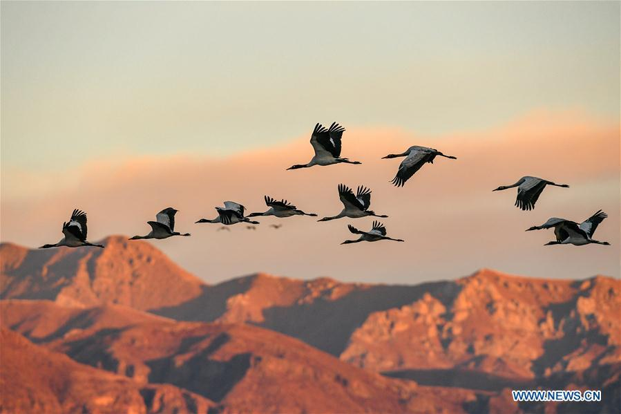 Black-necked cranes fly over the natural reserve for black-necked crane in Lhunzhub County, southwest China\'s Tibet Autonomous Region, Jan. 1, 2019. As \