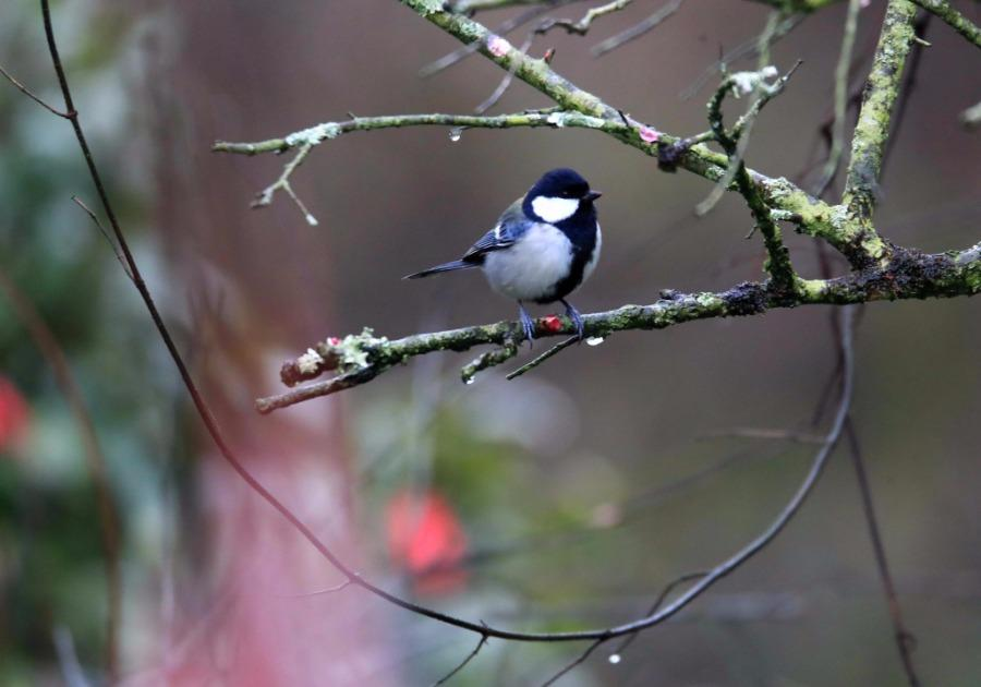 A bird lands on a plum tree branch, Xiuning county, Anhui Province, Feb. 28, 2019. As the temperature rises, plum blossoms in the Jinfoshan ecological park in Xiuning county, birds of various species are attracted to the scent of flowers, creating a vibrant spring scene. (Photo/Asianewsphoto)