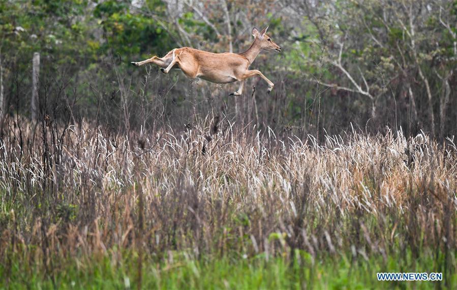An Eld\'s deer runs at Datian Eld\'s deer national nature reserve in south China\'s Hainan Province, April 3, 2018. As \