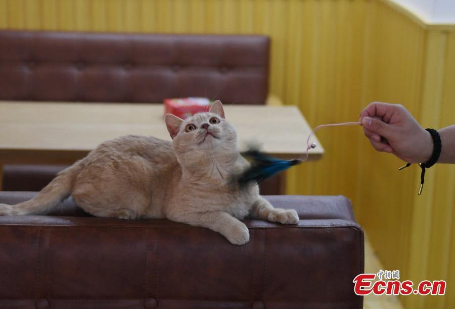 A store allows visitors to play with its 60 cats in Hangzhou City, Zhejiang Province, Feb. 28, 2019. The store is said to be popular among young people who enjoy the feline companionship. (Photo: China News Service/Wang Gang)
