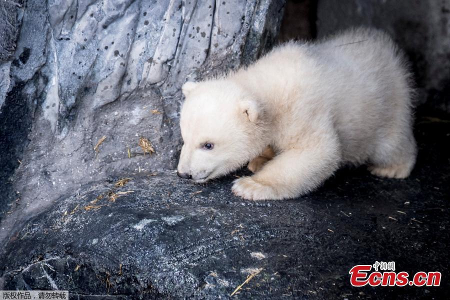 A polar bear cub comes outside for the first time in the Copenhagen Zoo, Denmark, Feb. 28, 2019. (Photo/Agencies)
