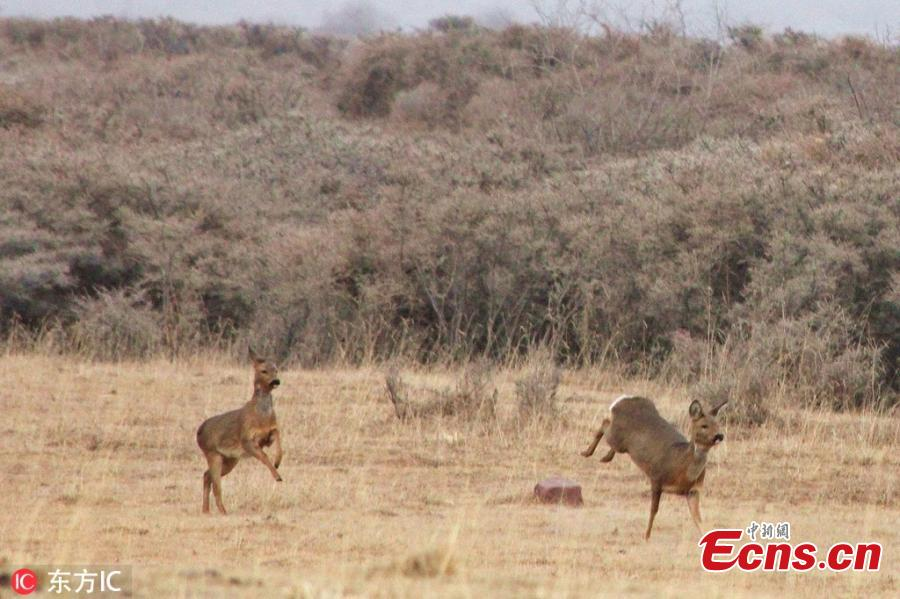 European roe deer roam in the Qilian Mountains nature reserve in Zhangye City, Northwest China\'s Gansu Province, March 2, 2019. The population of wild animals, including endangered species, is rising in the conservation area. Qilian is important in the fight to protect the ecological environment and biological diversity. (Photo/IC)