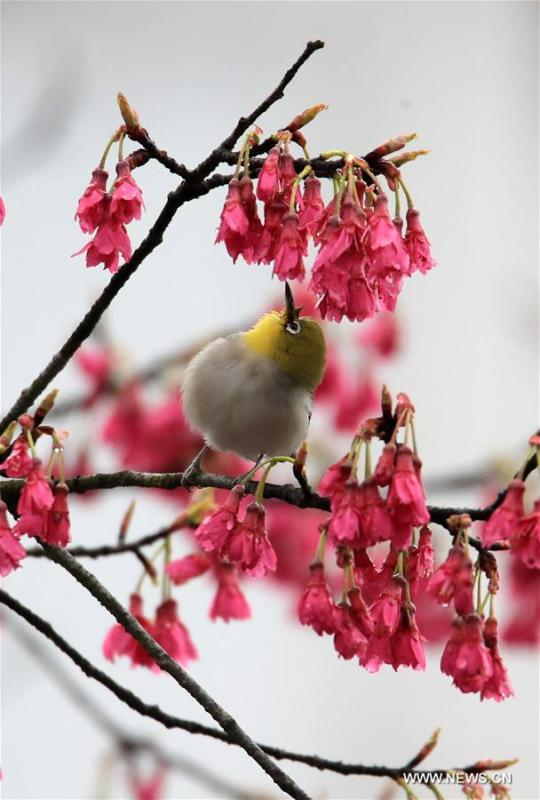 A bird is seen on a flowering tree at Huizhou Cultural Park in Huangshan, east China\'s Anhui Province, March 2, 2019. (Xinhua/Shi Guangde)
