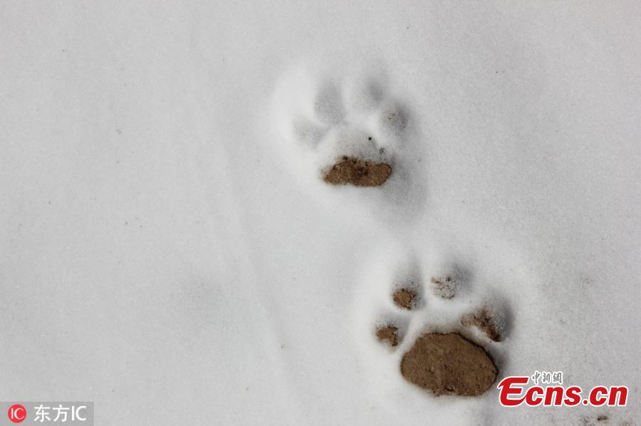 Footprints of a snow leopard are found in a snow field in the Qilian Mountains nature reserve in Zhangye City, Northwest China\'s Gansu Province, March 2, 2019. The population of wild animals, including endangered species, is rising in the conservation area. Qilian is important in the fight to protect the ecological environment and biological diversity. (Photo/IC)