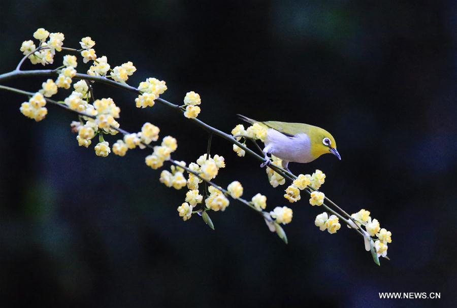 A bird is seen on a flowering tree in Wuxing Village of Hengyang, central China\'s Hunan Province, March 2, 2019. (Xinhua/Cao Zhengping)