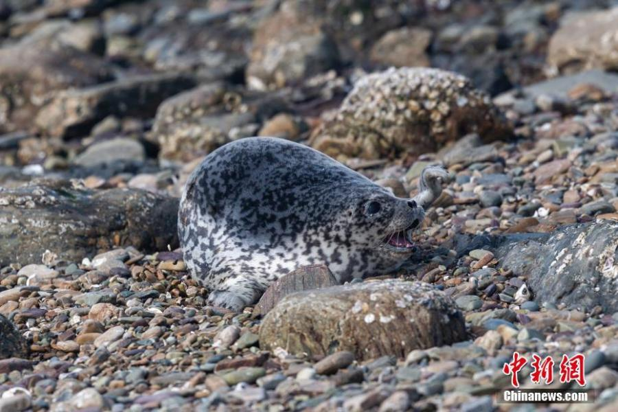 Baby spotted seals on a beach on Huping Island in Dalian City, Northeast China\'s Liaoning Province. Approximately 160-280 spotted seals live in the area\'s waters, a sign the natural environment is a healthy one. (Photo: China News Service/Bian Zhidong)
