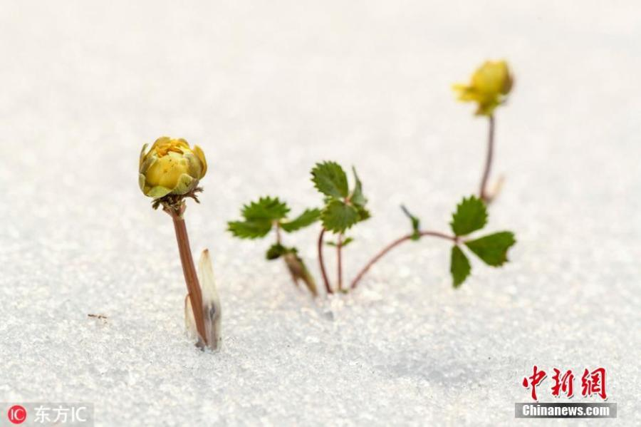 Flowers of the adonis amurensis, commonly known as pheasant\'s eye, bloom in the snow in Baishan City, Northeast China\'s Jilin Province, March 3, 2019. The perennial plant with a golden yellow flower is favored by many in China because it is adapted to the cold temperatures of the north. (Photo/IC)
