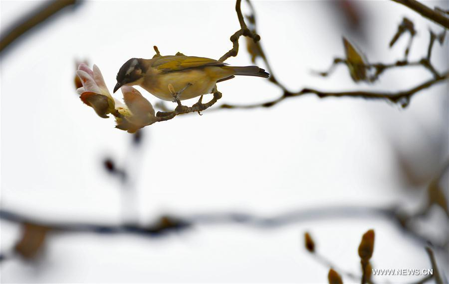 A bird is seen on a flowering tree at Binjiang Park in Yichang, central China\'s Hubei Province, March 2, 2019. (Xinhua/Liu Shusong)