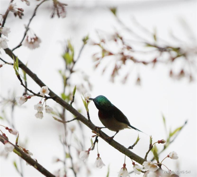 A bird is seen on a flowering tree at Daoxian County of Yongzhou, central China\'s Hunan Province, March 2, 2019. (Xinhua/He Hongfu)