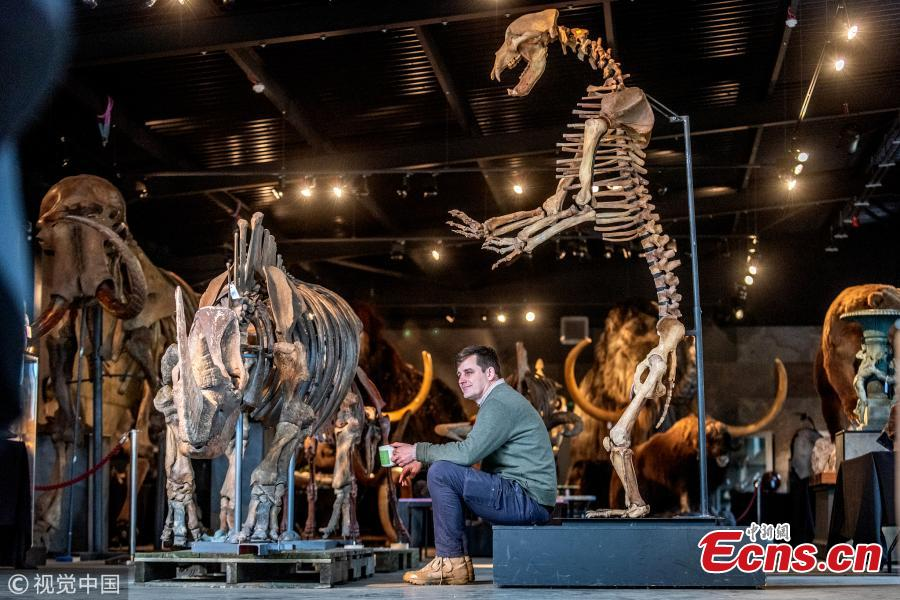 Rupert van Der Werff from Summers Place Auctions with a rare skeleton of a long-extinct cave bear, right, and a woolly rhinoceros (one of only three in the world) up for sale next Tuesday (March 12) on March 5, 2019 in Billingshurst, England. The Skeletons of Ice Age will go under the hammer alongside two sections of the Berlin Wall.  (Photo/Agencies)