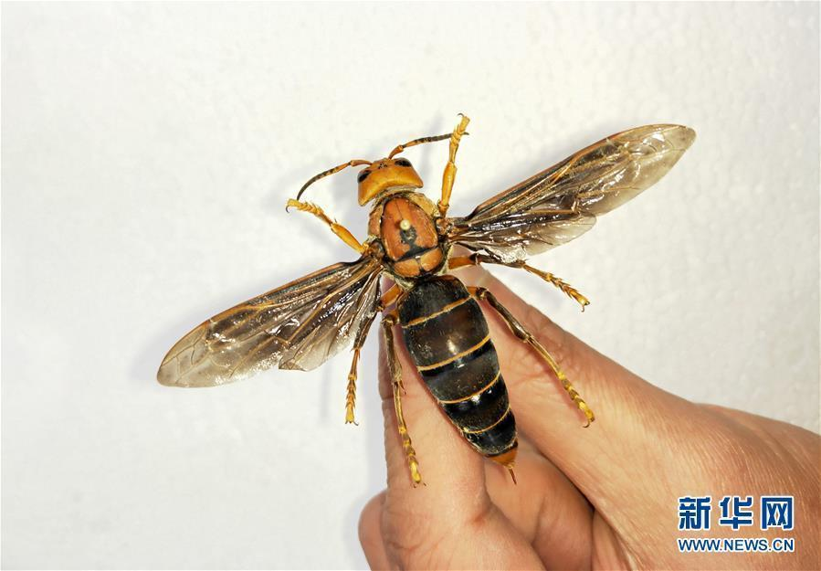 Photo shows a newly-discovered hornet, the largest ever, found by Chengdu Huaxi Entomic Museum in Yunnan near the border with Myanmar on March 5, 2019. The hornet is 6-cm-long, with a wingspan of 9.35 cm. That\'s far bigger than the previous record of 7.6 cm.  (Photo/Xinhua)