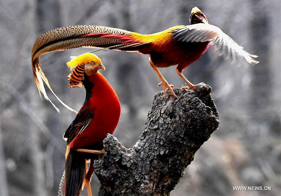 Two golden pheasants sport in the woods of Mengcun Village in Ruyang County, central China\'s Henan Province, March 5, 2019. (Xinhua/Li An)