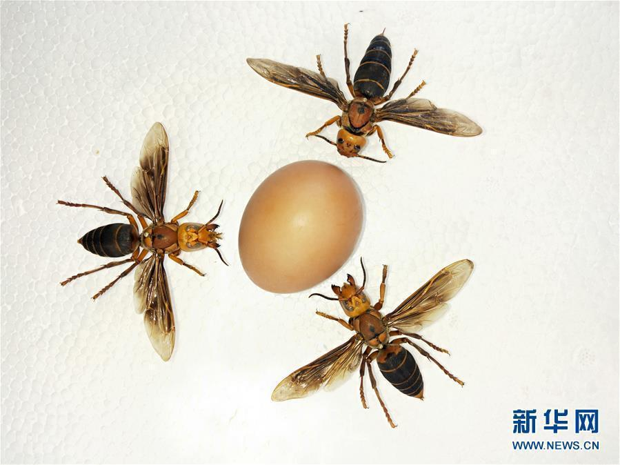 An egg is sized up alongside the specimen of an Asian giant hornet, the world\'s largest hornet, in Yunnan near the border with Myanmar on March 5, 2019.  (Photo/Xinhua)