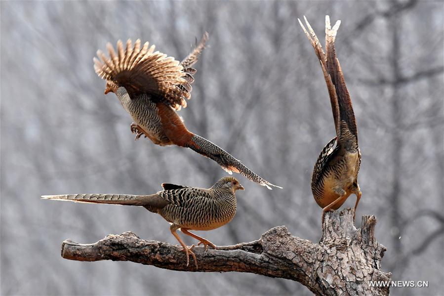 Three golden pheasants sport in the woods of Mengcun Village in Ruyang County, central China\'s Henan Province, March 5, 2019. (Xinhua/Li An)