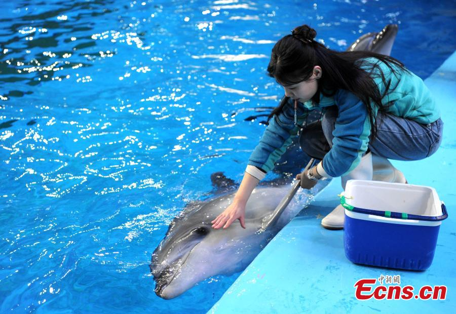 Trainer Sun Liru checks the health of a dolphin at an aquarium in Hefei City, Anhui Province, March 5, 2019. Sun said she chose the job because she has loved animals since she was a child. She has been training dolphins for four years. (Photo: China News Service/Han Suyuan)