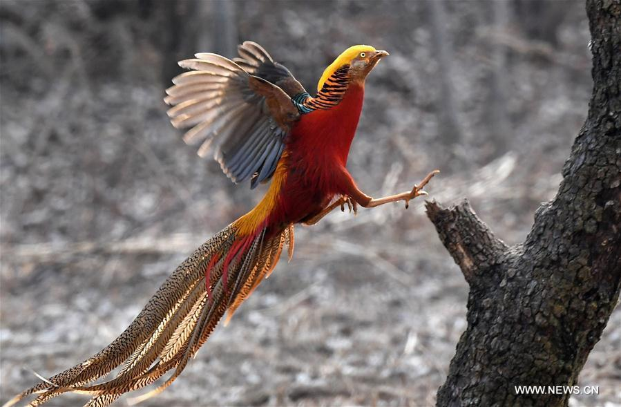A golden pheasant sports in the woods of Mengcun Village in Ruyang County, central China\'s Henan Province, March 5, 2019. (Xinhua/Li An)