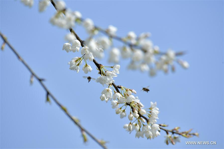 A bee flies among flowers at Lianhuaba Village of Zhushan Town of Xuan\'en County, central China\'s Hubei province, on March 6, 2019. This Wednesday marked the day of \