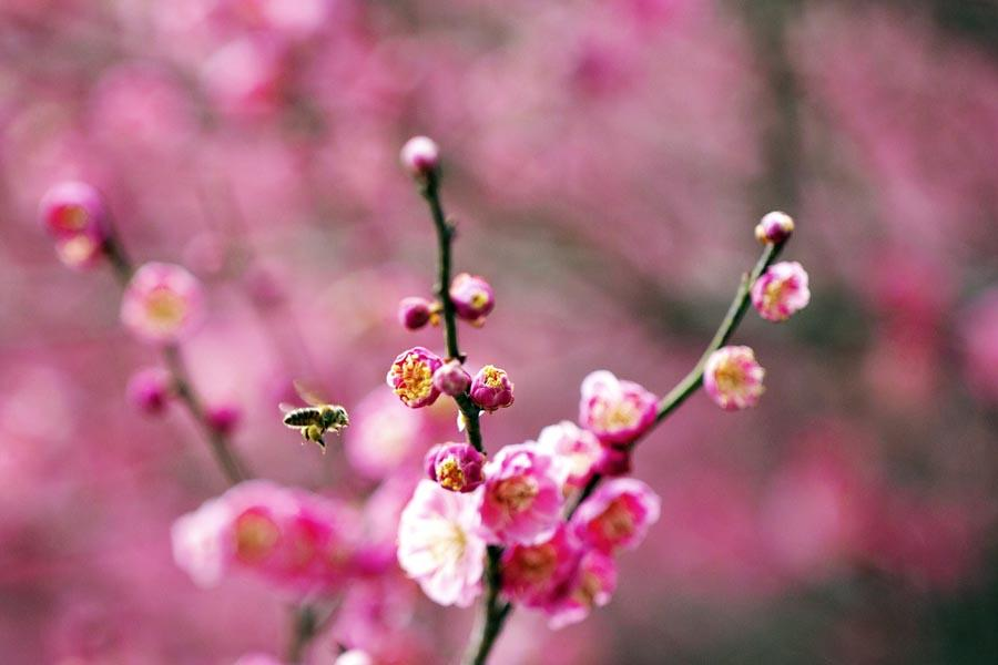 A bee flies in blooming flowers in Zigui county, Central China\'s Hubei Province, on March 6, 2019.  (Photo/Xinhua)