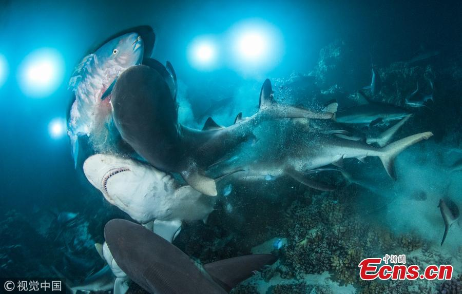 The results of Underwater Photographer of the Year 2019 are out.  The competition started in 1967 in the UK as a local contest, but soon turned into a global event, drawing shutter bugs from the four corners of the world.  Richard Barnden from the UK was named Underwater Photographer of the Year 2019 as well as British Underwater photographer of the Year 2019 with his captivating image titled \'The Gauntlet\'. Here is a selection from the UPY 2019 gallery.  (Photo Agencies)