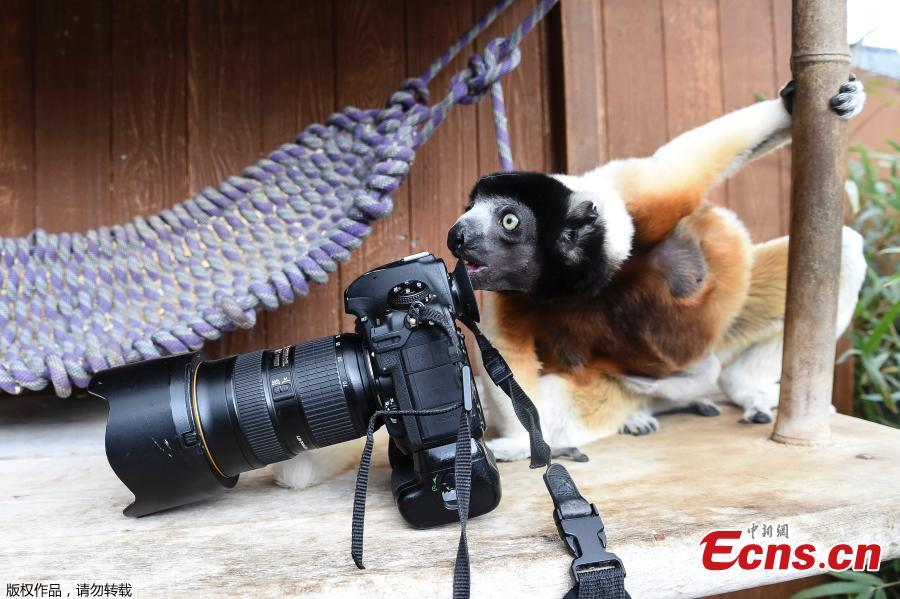 Poppy, a female Crowned sifaka, inspects a camera in the enclosure at the zoo of Mulhouse, eastern France, on March 5, 2019. The Crowned sifaka is a critically endangered. (Photo/Agencies)