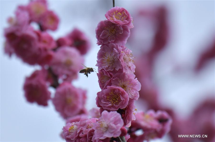 A bee flies among flowers at Lianhuaba Village in Zhushan Town of Xuan\'en County, central China\'s Hubei province, on March 6, 2019. This Wednesday marked the day of \