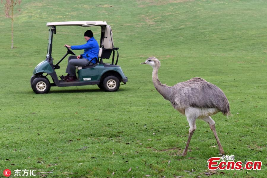 A 6ft rhea dubbed Linford after running wild on a prestigious golf course has been captured and taken to a new home - where zookeepers discovered he could actually be a GIRL called Linda. The ostrich-like flightless bird, named after Linford Christie because of his ability to reach speeds of up to 40mph, took up residence at Evesham Golf Club in Evesham, Worcestershire, southern England, last October after escaping from his owner\'s home in nearby Harvington and travelling five miles by road.(Photo/IC)