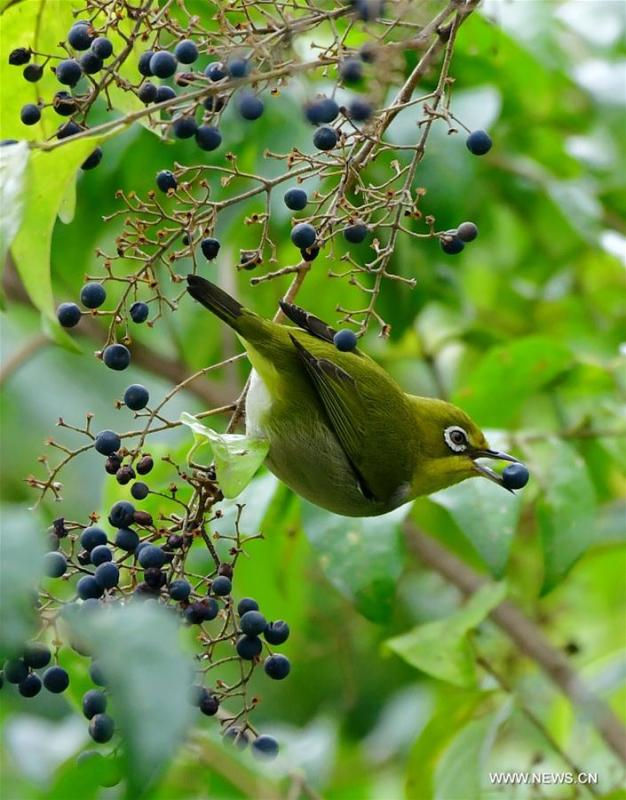 A white-eye feeds on berries in a tree in Fuzhou, southeast China\'s Fujian Province, March 6, 2019. This Wednesday marked the day of \