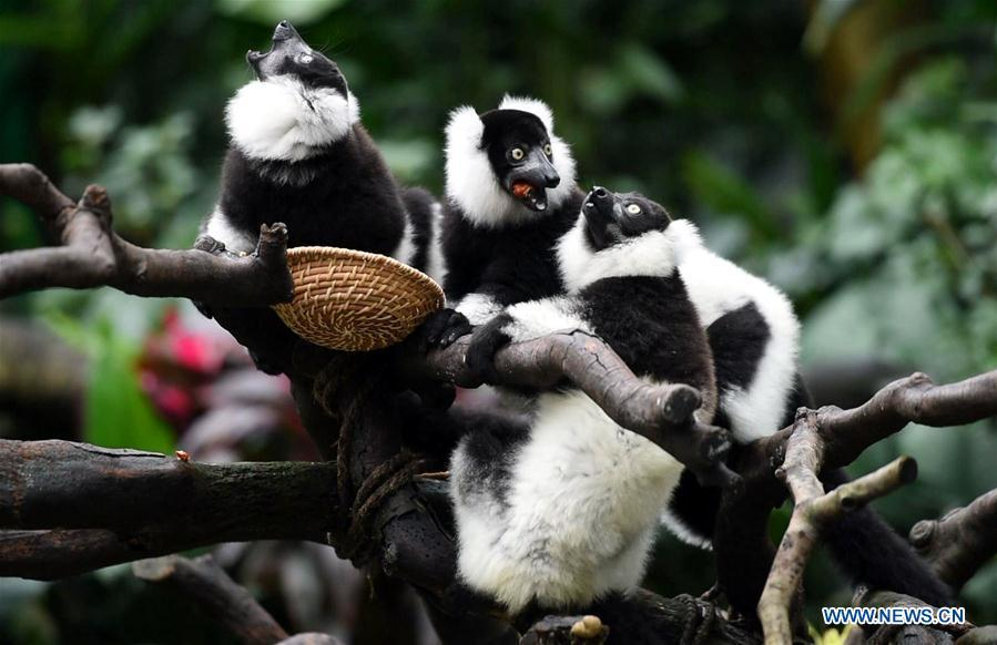 Triplets of black-and-white ruffed lemur eat food on tree branches at Chimelong Safari Park in Guangzhou, capital of south China\'s Guangdong Province, March 6, 2019. China\'s first successfully-bred black-and-white ruffed lemur triplets met the public Wednesday after nearly 10 months of intensive care since their birth. The black-and-white ruffed lemur is listed as a critically endangered species by the International Union for Conservation of Nature (IUCN). (Xinhua/Liu Dawei)