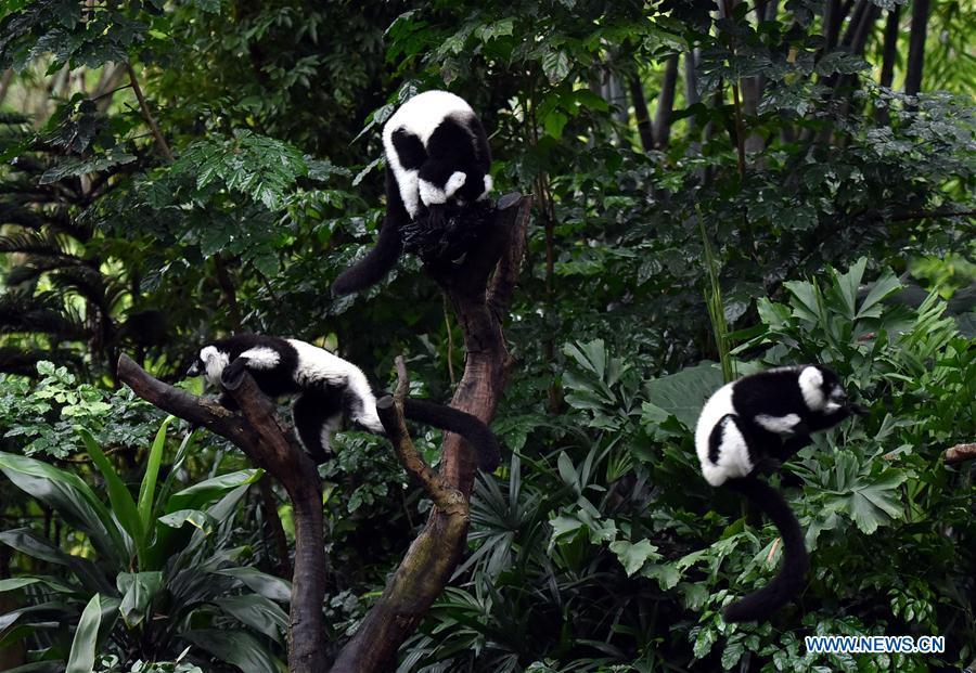 Triplets of black-and-white ruffed lemur play on tree branches at Chimelong Safari Park in Guangzhou, capital of south China\'s Guangdong Province, March 6, 2019. China\'s first successfully-bred black-and-white ruffed lemur triplets met the public Wednesday after nearly 10 months of intensive care since their birth. The black-and-white ruffed lemur is listed as a critically endangered species by the International Union for Conservation of Nature (IUCN). (Xinhua/Liu Dawei)