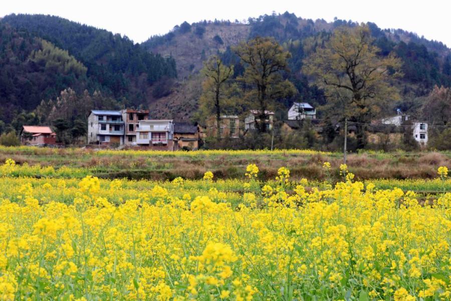 Canola flowers bloom in Changfeng village, Southwest China\'s Guangxi Zhuang autonomous region, March 6, 2019. (Photo/Asianewsphoto)