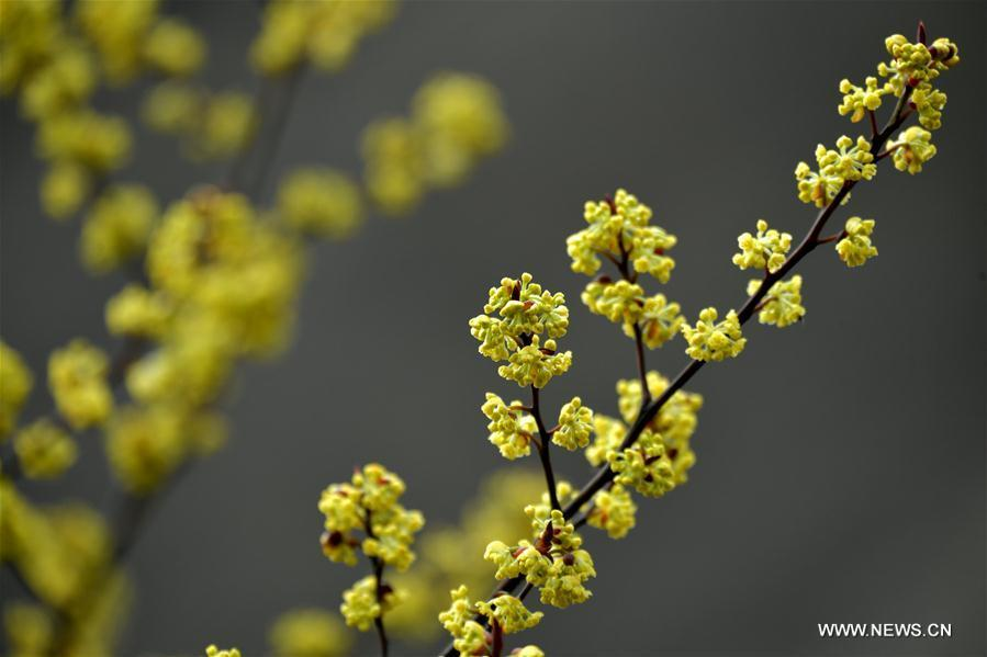 Photo taken on March 6, 2019 shows pepper flowers at Sanhegou Village in Jiaoyuan Town of Xuan\'en County, central China\'s Hubei Province. This Wednesday marked the day of \