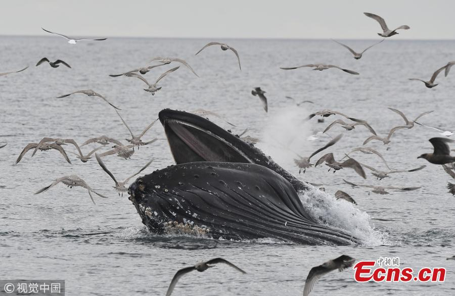 A humpback whale accidentally caught low-flying seagulls as it took a huge mouthful of fish in the Salish Sea off the coast of Sooke, Canada. As the 44ft-long whale sank back below the surface it realized its mistake and released the \'frantic\' gulls back into the sky. (Photo/VCG)