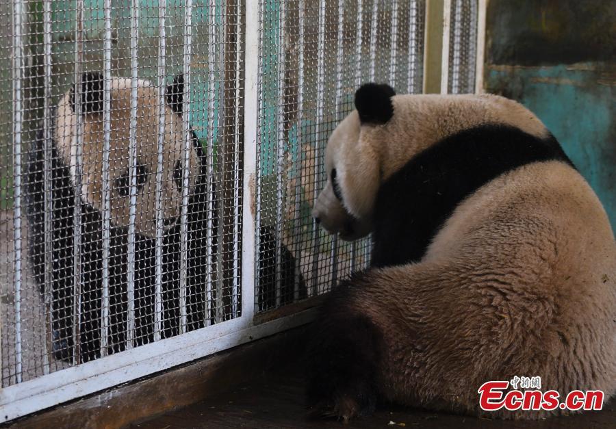 Giant pandas Hua Ao (L) and Ya  Ji at Jinan Zoo in Jinan, East China\'s Shandong Province, March 7, 2019. (Photo: China News Service/Zhang Yong)