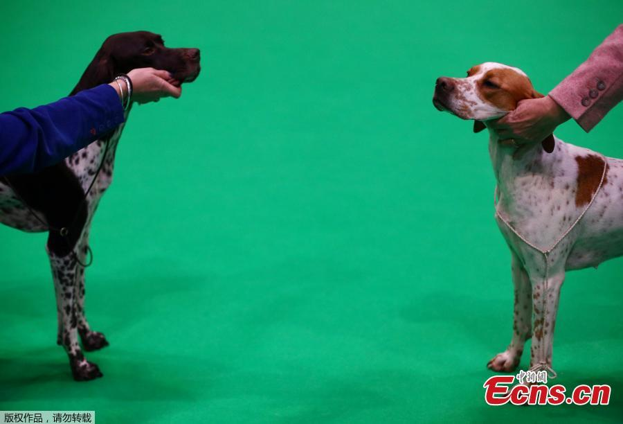 Pointers are judged during the first day of the Crufts Dog Show in Birmingham, Britain, March 7, 2019. (Photo/Agencies)