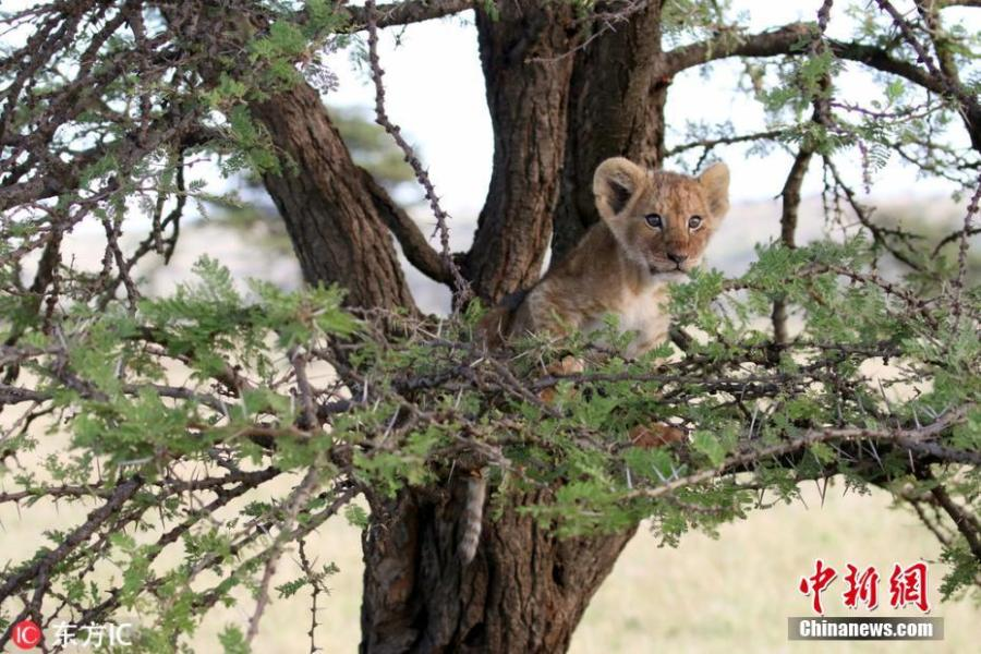 Photo shows the cub resting in a tree before losing its grip and making a sudden drop to the floor below. (Photo/IC)  Photographer Sonia Rousseau, 47, captured the images while visiting the Kicheche Olare Motorogi Conservancy in Kenya earlier this year.