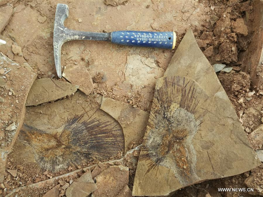 Undated file photo shows the fossilized palm leaves discovered at the layer of Lunpola Basin in southwest China\'s Tibet Autonomous Region. The discovery of fossilized palm leaves on the cold and high-altitude Qinghai-Tibet Plateau has led scientists to make new conclusions on when the plateau reached its current height. Su Tao, a leading scientist of the study from Xishuangbanna Tropical Botanical Garden, said the central part of the plateau did not reach its current altitude of about 4,500 meters until 23 million years ago. The conclusion challenges the prevailing view that the process happened about 35 million years ago, Su said. He said the judgment was based on the discovery of well-preserved palm fossils at the Lunpola Basin in central Tibet. By simulating a variety of topographic scenarios, the research team conjectured that about 25 million years ago, palm trees grew at a west-to-east valley flanked by high mountains in the central part of the plateau. (Xinhua/Su Tao)