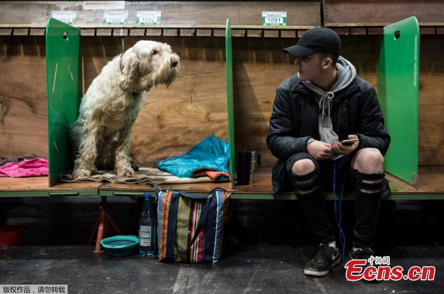 A man sits in a pen adjacent to an Italian Spinone dog on the first day of the Crufts dog show at the National Exhibition Centre in Birmingham, central England, on March 7, 2019. (Photo/Agencies)