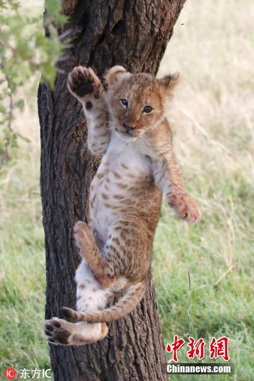 The cub\'s limbs are stretched out in preparation for his landing.  (Photo/IC)