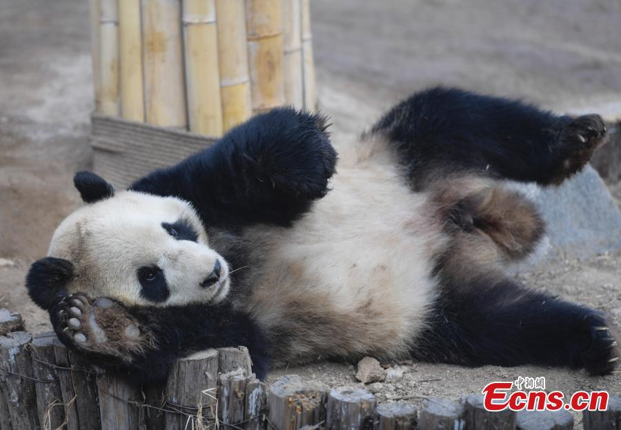 Giant panda Hua Ao meets the public at Jinan Zoo in Jinan, East China\'s Shandong Province, March 7, 2019, after half a month of adaptive phase at the zoo.(Photo: China News Service/Zhang Yong)