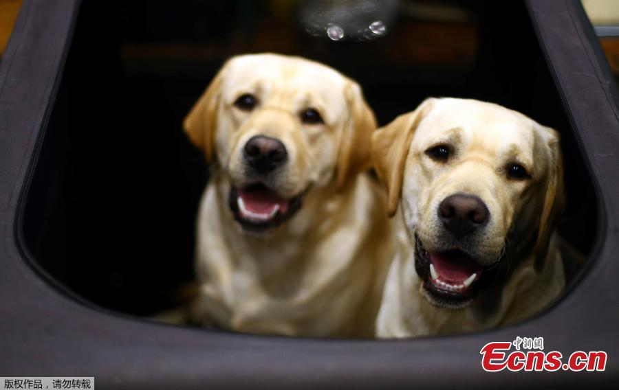 Labrador Retrievers look out from their pen during the first day of the Crufts Dog Show in Birmingham, Britain, March 7, 2019.  (Photo/Agencies)