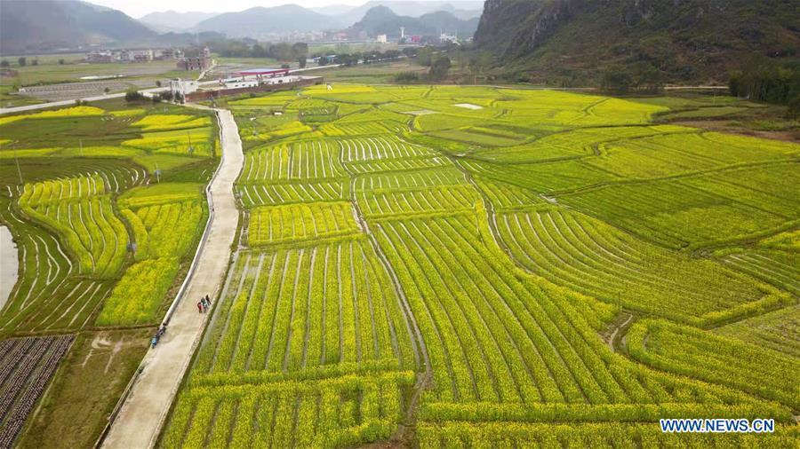 Aerial photo taken on March 10, 2019 shows blossoming cole flowers at Huilong Township in Zhongshan County, south China\'s Guangxi Zhuang Autonomous Region. The blossoming flowers herald the arrival of spring. (Xinhua/Liao Xiang)