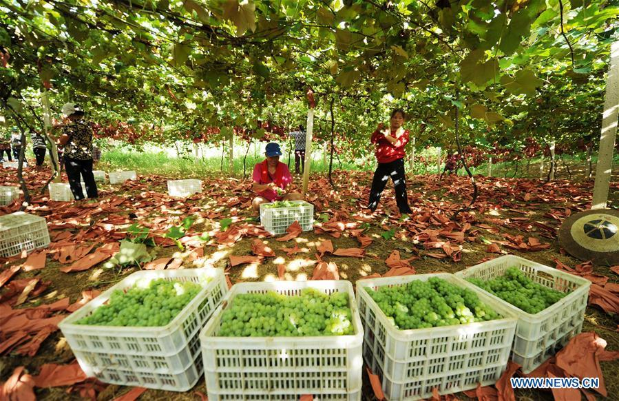 Farmers pick grapes at the Xindian eco-agricultural park in Xindian Town of Yuping Dong Autonomous County in southwest China\'s Guizhou Province July 30, 2018. China\'s efforts and success in poverty reduction can help other developing nations, said experts observing the country\'s ongoing Two Sessions. The Two Sessions refer to the annual gatherings of the National People\'s Congress (NPC) and the National Committee of the Chinese People\'s Political Consultative Conference, China\'s top legislature and political advisory body respectively. China has emerged as a global role model with efforts in structural transformation and industrial upgrading, lifting hundreds of millions of people out of poverty, said retired Lieutenant Colonel Muhammad Faruk Khan, a presidium member of Bangladesh\'s ruling Awami League. (Xinhua/Yang Wenbin)